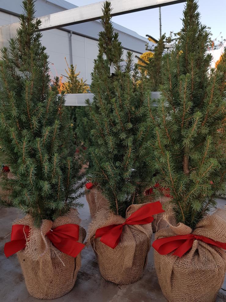 Plantex - Vianočné stromčeky v kvetináči 7a19cb539c3